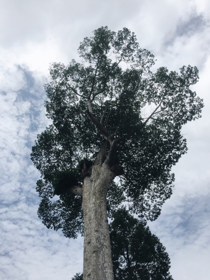 Dipterocarp tree